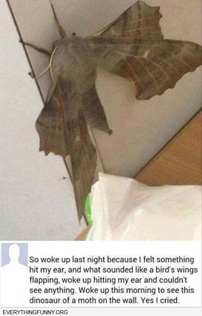 funny caption woken up by flapping saw this dinosaur moth next day i cried