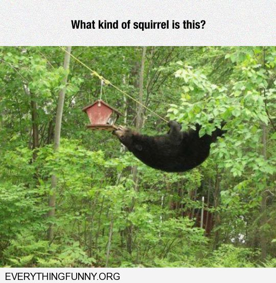 funny bear tries to eat out of squirrel feeder what kind of squirrel is this