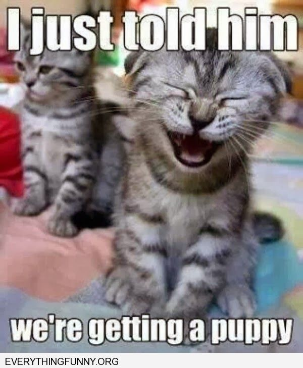 funny cat pictures cat laughing i just told other cat we were getting a puppy