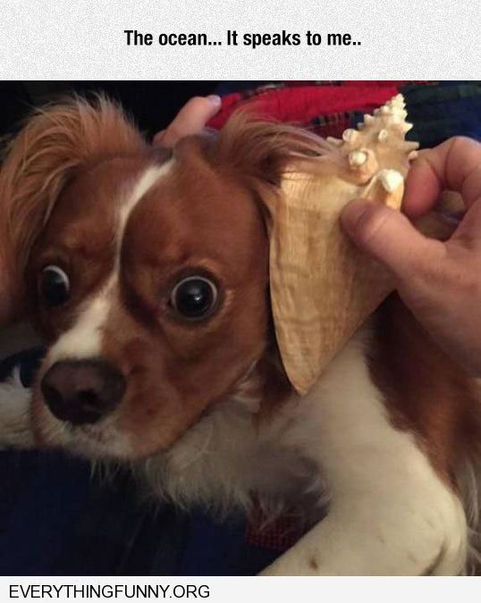 funny caption dog listening to seashell the ocean it is talking to me