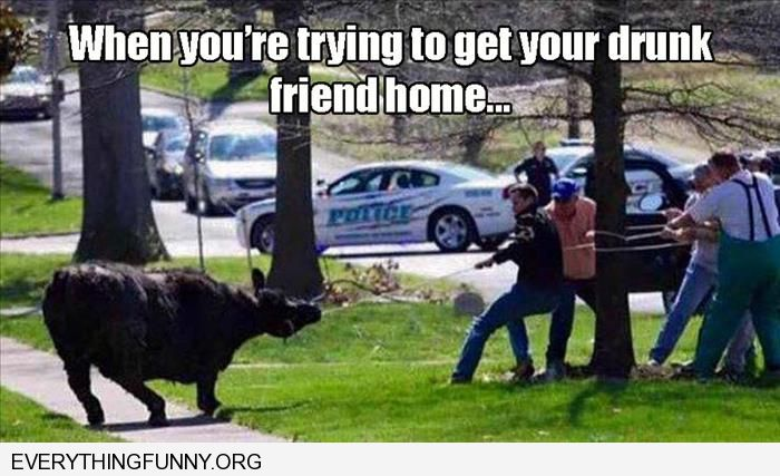 funny men trying to pull stubborn bull when you're trying to get a drunk friend home