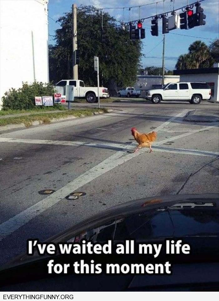 funny caption i've been waiting for this moment my whole life chicken crossing the road