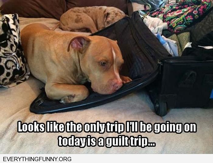 funny dog picture sleeps on suitcase looks like only trip i'm going on is a guilt trip