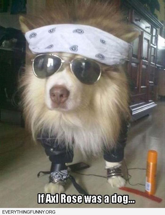 funny dog picture if axl rose was a dog