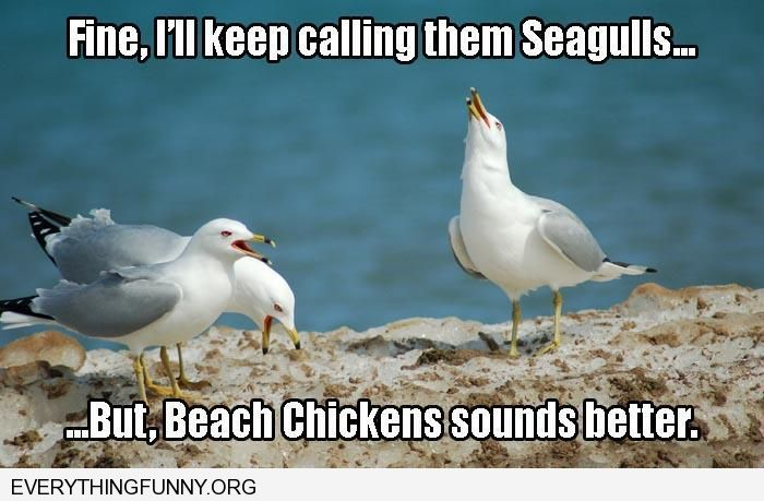 funny fine i'll keep calling them seagulls but beach chickens sounds better