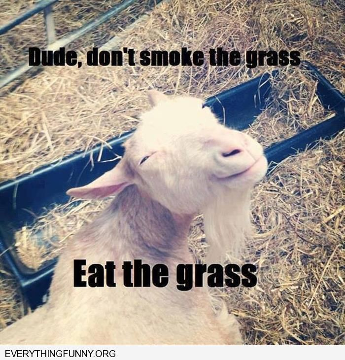 funny stoned sheep don't smoke the grass eat the grass