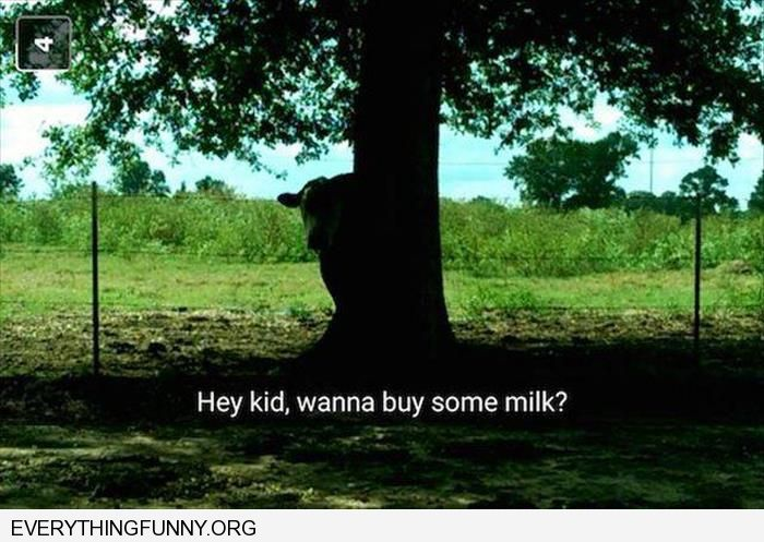 funny cow behind a tree hey kid you want some milk