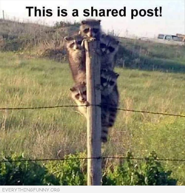 funny raccoons sharing a post this is a shared post everythingfunny.org
