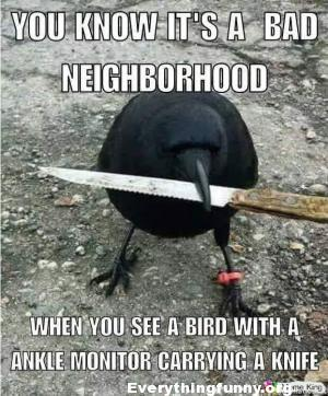 funny caption animals you know it is a tough neighborhood when you see a bird with an ankle monitor carrying a knife