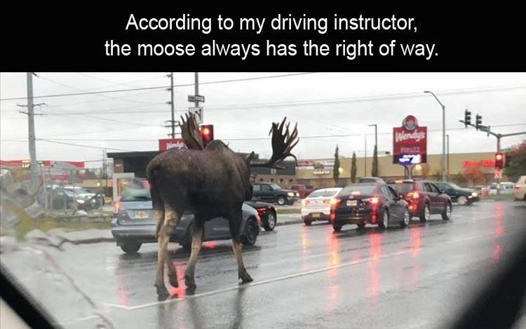 funny picture, funny photo, moose photo moos in traffic