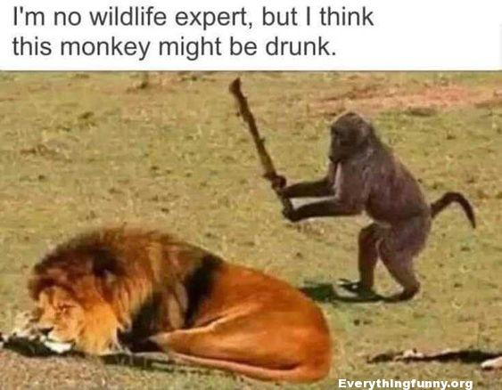 funny photo monkey about to hit lion with stick drunk