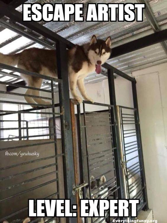 funny dog standing on top of cage escape artist level expert husky
