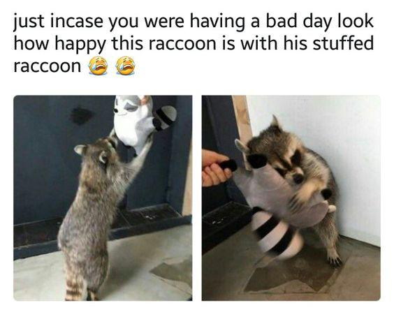 funny caption, funny photo, funny raccoon is so happy with his stuffed raccoon