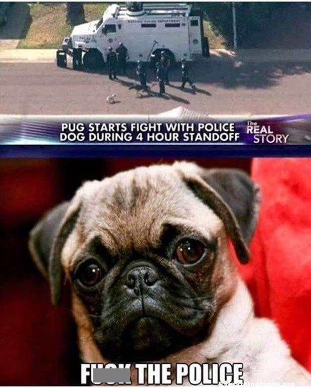 funny caption breaking news story pug starts fight with police dog during 4 Hour Standoff