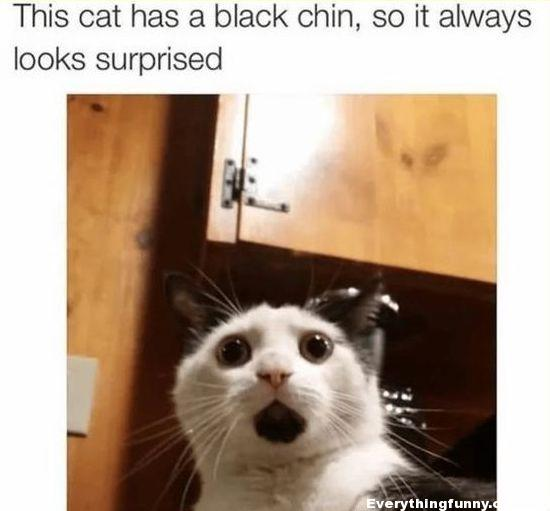 funny cat picture cat has black chin so always looks surprised
