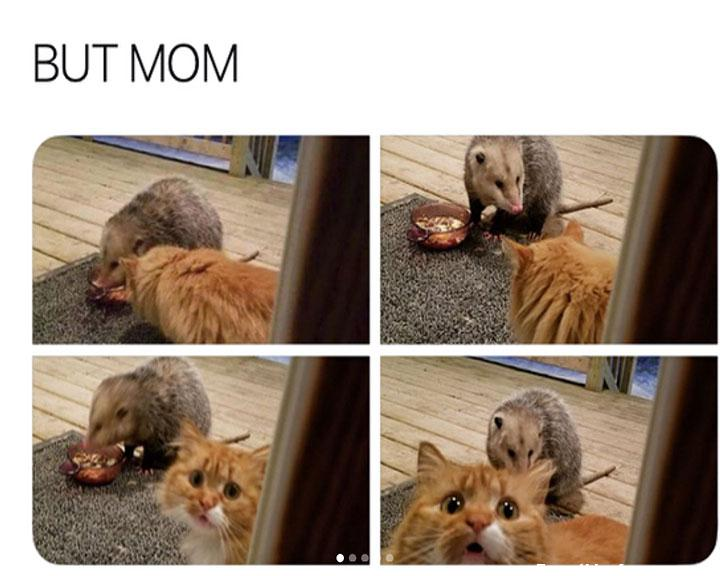 funny caption picture possum take over cat dish cat gets upset