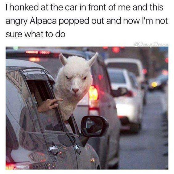 funny caption, funny post funny status i honked at car in front of me angry alpaca popped out now i'm not sure what to do