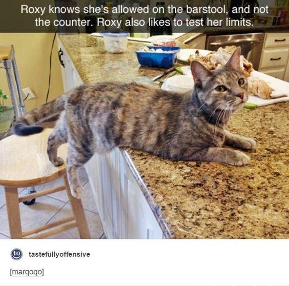 funny cat allowed on stool but not on counter only puts front of body on counter stays on stool Roxy likes to test her limits
