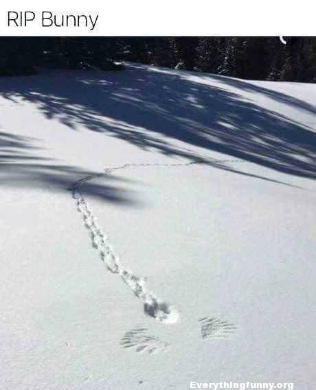 funny picture funny photo can see rabbit tracks and where bird hawk picked up rabbit