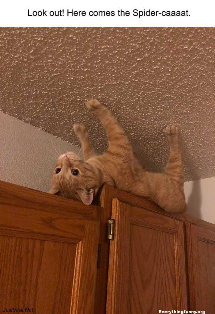 funny cat photo post cat looks like walking on ceiling on top of cabinet feet on ceiling spider cat