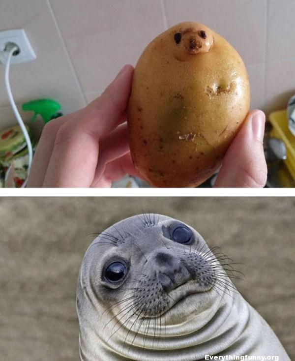 funny things that look like other things, potato looks like seal meme