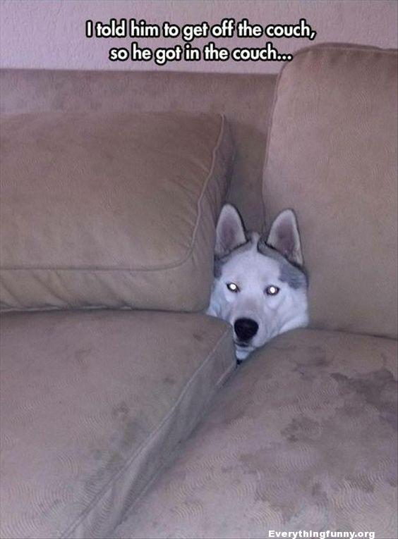 funny caption, funny dog picture i told him to get off the couch so he got off the couch and hid behind pillows behind it