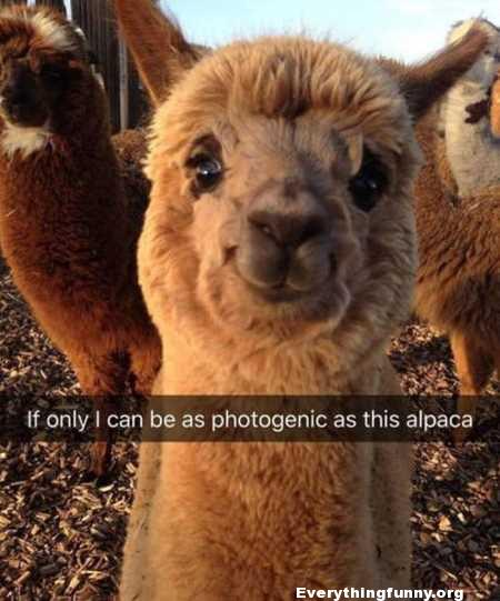 funny caption if only i can be as photogenic as this alpaca funny smiling alpaca picture