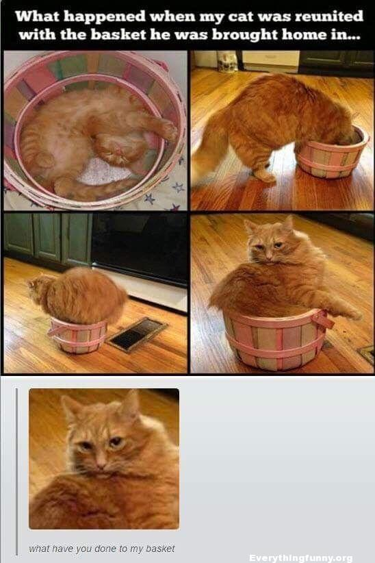 funny caption, funny cat pictures when older cat tries to fit in original basket it had as a kitten