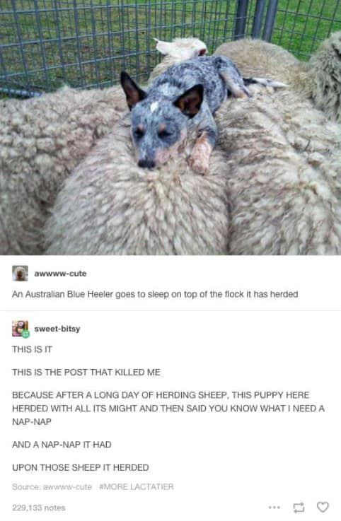 funny Australian blue heeler dog falls asleep on top of the flock it has herded best bedtime story ever funny post, funny comments,