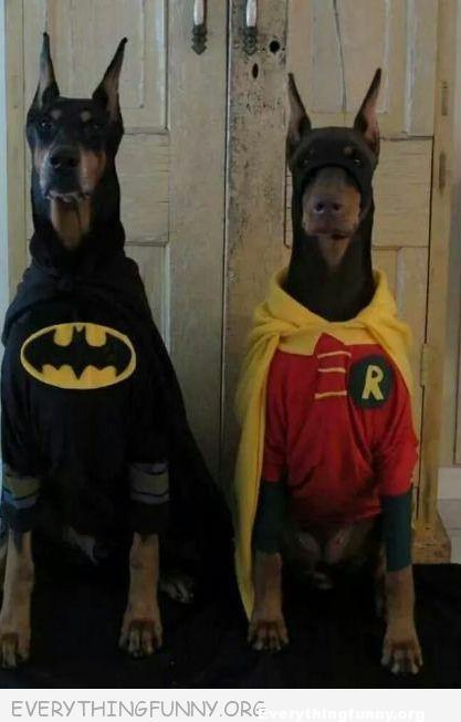 funny dog pictures, funny costumes, funny dog costume batman and robin dobermans