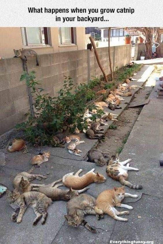 funny caption funny cat picture what happens when you grow catnip in your backyard - a yard filled with stoned passed out cats