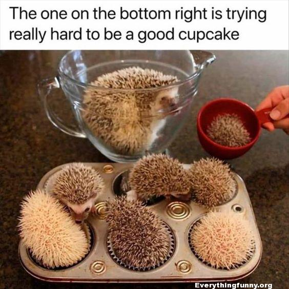 funny hedgehogs in cupcake tin - the one on the bottom right is trying really had to be a good cupcake