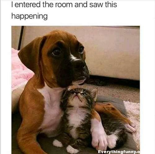 funny caption i entered the room and saw this happening adorable boxer puppy has no choice when kitten curls up with it