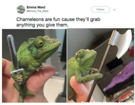funny chameleons are fun cause they will grab anything you give them like mini swords or mini knives