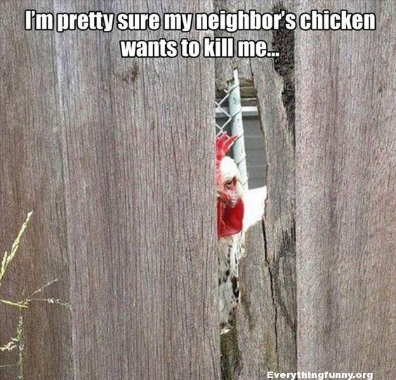 funny caption funny meme i'm pretty sure my neighbors chicken wants to kill me