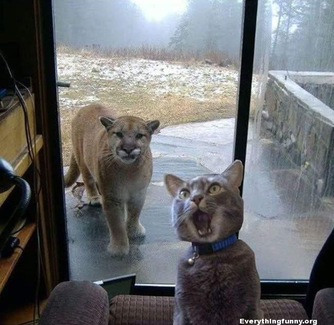 funny cat picture cat screaming when it sees large lion