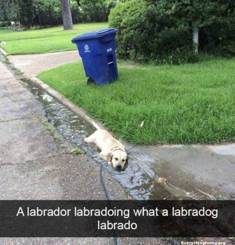 funny Labrador dog lying in running puddle in street