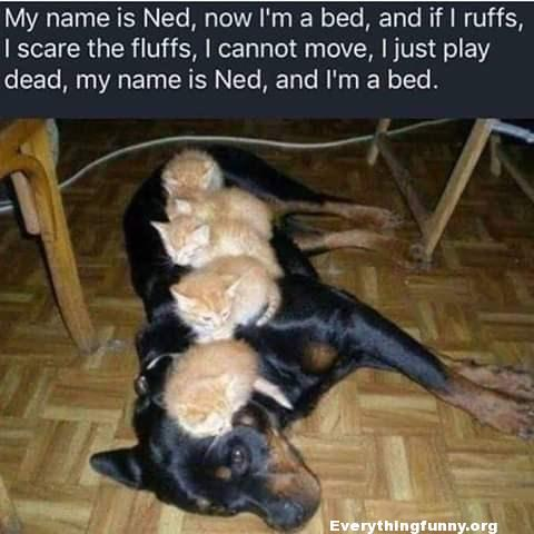 funny caption funny meme funny dog pic 4 kittens sleeping on dog