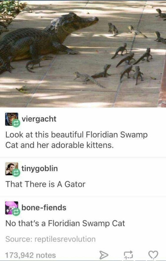 funny posts look at this beautiful floridian swamp cat and her adorable kittens