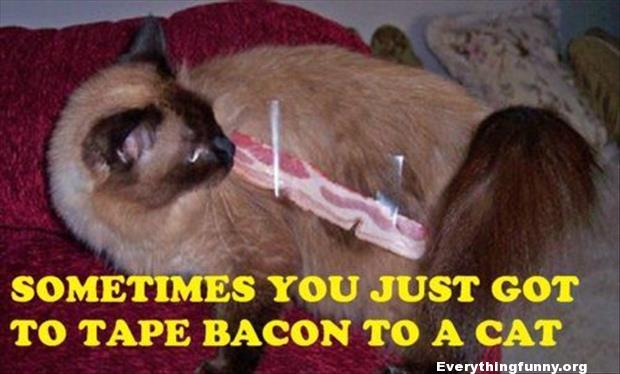 funny cat picture caption sometimes you just got to tape bacon to a cat