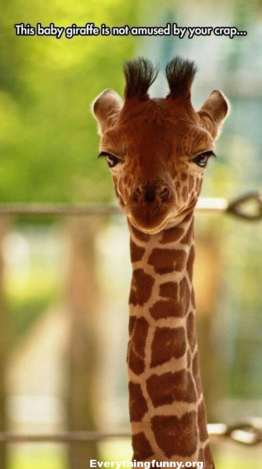 funny animal captions, this baby giraffe is not amused by your crap