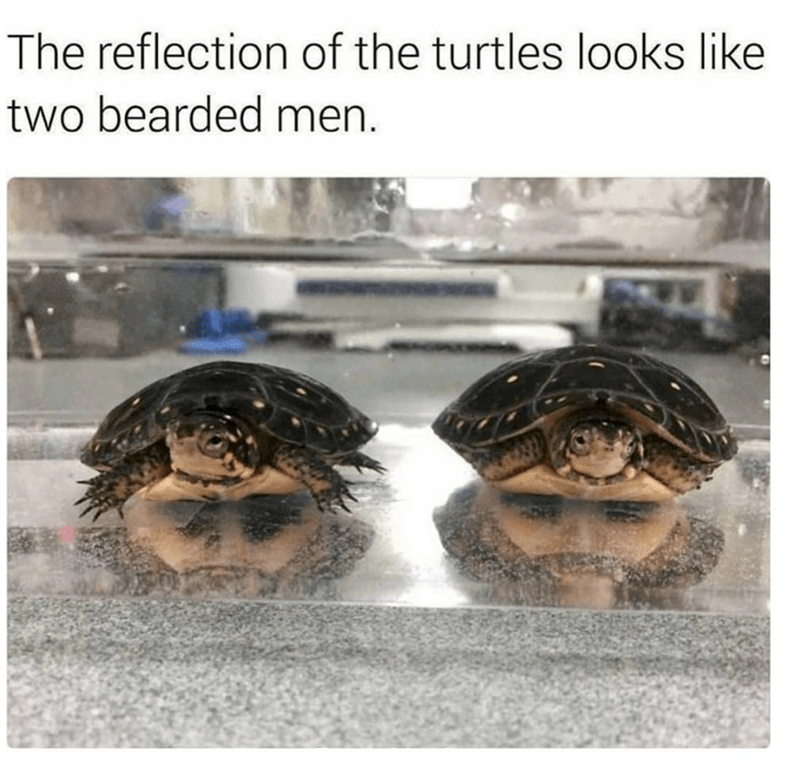 funny caption, funny optical illusion relfection of two turtles looks like 2 bearded men
