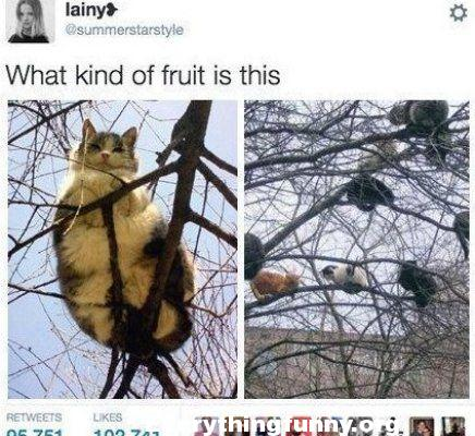 funny what kind of fruit is this a tree filled with more than 7 cats