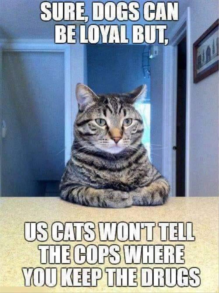funny cat meme, funny cat caption, sure dogs can be loyal but us cats won't tell the cops where you keep the drugs