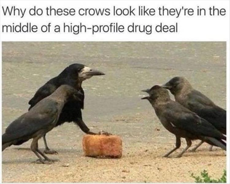 funny meme why do these crows look like they are in the middle of a high-profile drug deal
