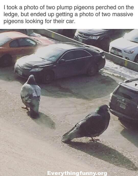 funny optical illusion took picture of two plump pigeons on ledge but ended up getting a photo of two massive pigeons looking for their car