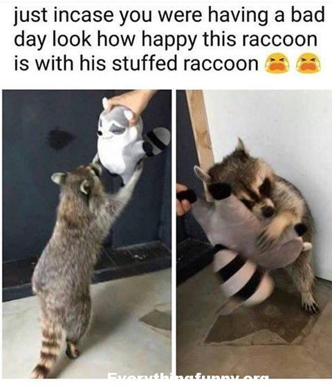 funny just in case you are having a bad day look how happy this raccoon is with his stuffed raccoon